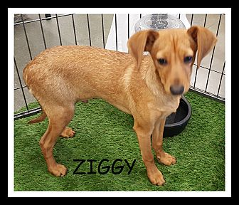 Chihuahua/Terrier (Unknown Type, Small) Mix Puppy for adoption in Winchester, California - ZIGGY