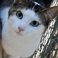 Domestic Shorthair Cat for adoption in Hammond, Louisiana - Tammie
