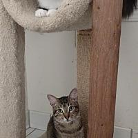 Domestic Shorthair Cat for adoption in Atlanta, Georgia - Ned Nederlander