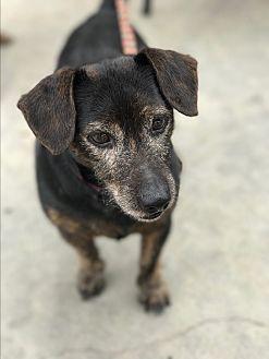 Dachshund Mix Dog for adoption in Natchitoches, Louisiana - Luke