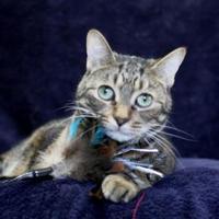 Adopt A Pet :: Gigi - Pomona, NY