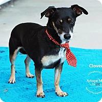 Adopt A Pet :: Clover - Shawnee Mission, KS