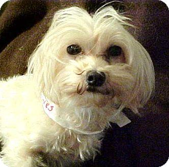 Maltese/Shih Tzu Mix Dog for adoption in Anderson, South Carolina - Crystal