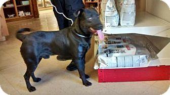 Labrador Retriever/Pit Bull Terrier Mix Dog for adoption in Alturas, California - JJ