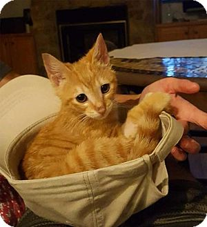 Domestic Mediumhair Kitten for adoption in Spring Valley, New York - SER BERIC