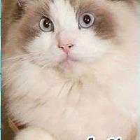 Adopt A Pet :: Sasha - purebred - Ennis, TX