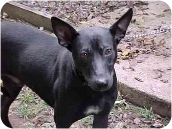 German Shepherd Dog Mix Puppy for adoption in Baltimore, Maryland - Ripley