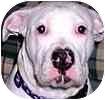 American Bulldog Dog for adoption in Hamilton, Ontario - Rocky