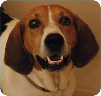 Treeing Walker Coonhound Dog for adoption in Marion, Wisconsin - Char-Lee