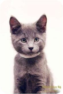 Domestic Shorthair Kitten for adoption in San Diego, California - Brutus