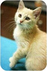 Domestic Shorthair Kitten for adoption in Chicago, Illinois - Trey