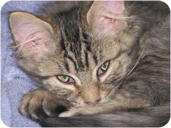 Domestic Shorthair Cat for adoption in Richfield, Ohio - Candy