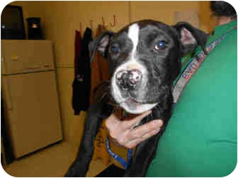 American Pit Bull Terrier Mix Puppy for adoption in Yuba City, California - Unnamed