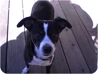 Italian Greyhound/Chihuahua Mix Dog for adoption in Rancho Cordova, California - Beauty