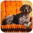 Photo 4 - German Shorthaired Pointer Dog for adoption in Portland, Oregon - Boudicca