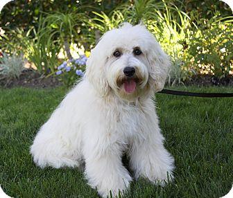 Havanese Mix Dog for adoption in Newport Beach, California - MOLLY