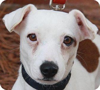 Jack Russell Terrier Dog for adoption in Atlanta, Georgia - Wishbone