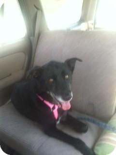 Labrador Retriever Mix Dog for adoption in Santa Monica, California - Brandy