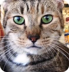 Domestic Shorthair Cat for adoption in Pasadena, California - Simone