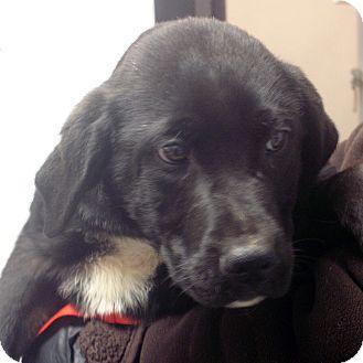 Labrador Retriever/Akita Mix Puppy for adoption in Greencastle, North Carolina - Ira