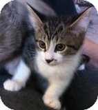 Domestic Shorthair Kitten for adoption in Toronto, Ontario - Aimee