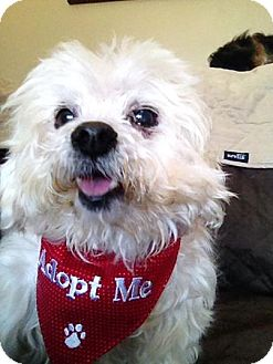 Maltese/Bichon Frise Mix Dog for adoption in Wappingers, New York - Mel
