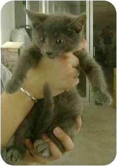 Domestic Shorthair Kitten for adoption in Molalla, Oregon - Pistol