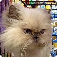 Adopt A Pet :: Lulu - Beverly Hills, CA