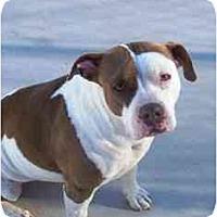 Adopt A Pet :: Sweet Violet - YERINGTON, NV