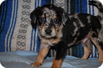 Australian Shepherd/Labrador Retriever Mix Puppy for adoption in Charlotte, North Carolina - Lawson