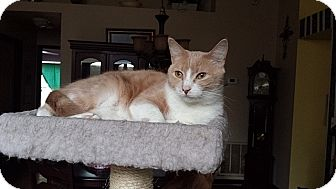 American Shorthair Cat for adoption in Tampa, Florida - Lady