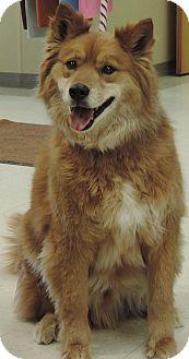 Border Collie/Australian Cattle Dog Mix Dog for adoption in Sioux City, Iowa - BEAR