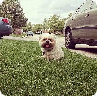 Shih Tzu Mix Dog for adoption in Hainesville, Illinois - Mugzy
