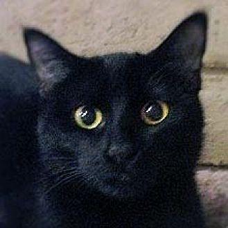 Domestic Shorthair Cat for adoption in Phoenix, Arizona - SugarBaby