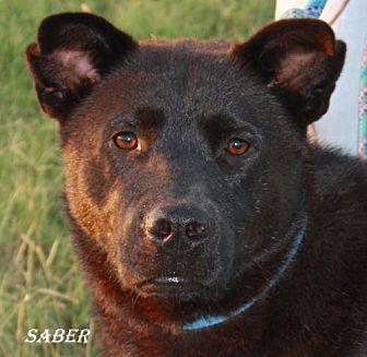 Australian Kelpie Mix Dog for adoption in Lone Oak, Texas - Saber