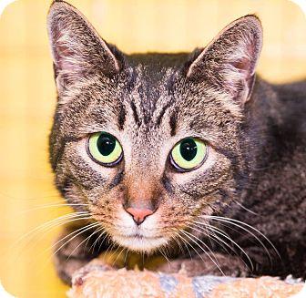Domestic Shorthair Cat for adoption in Seville, Ohio - Chrissy