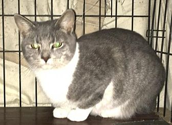 Domestic Shorthair Cat for adoption in Ocean Pines, Maryland - Tiff