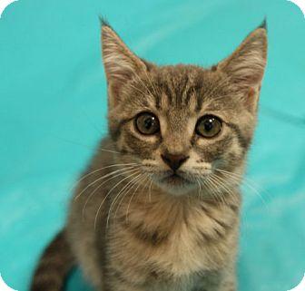 Domestic Mediumhair Cat for adoption in Tallahassee, Florida - Gigi