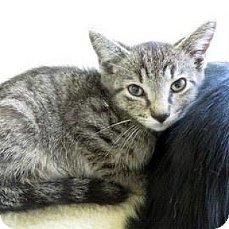 Domestic Shorthair Kitten for adoption in Janesville, Wisconsin - Roz