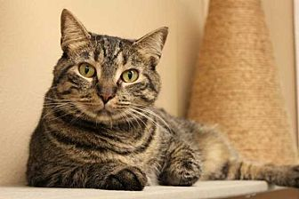 Domestic Shorthair Cat for adoption in Mebane, North Carolina - Reina