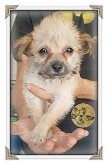 Brussels Griffon/Maltese Mix Puppy for adoption in Los Angeles, California - Chi-Chi