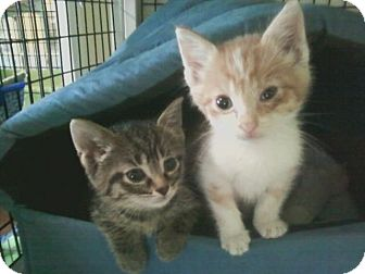 American Shorthair Kitten for adoption in Bay City, Michigan - Pekoe