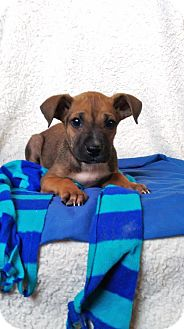 Boxer/Labrador Retriever Mix Puppy for adoption in Elkton, Maryland - Curly
