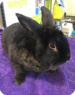 Lionhead Mix for adoption in Los Angeles, California - Bun Bun