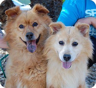 Chow Chow Mix Dog for adoption in Las Vegas, Nevada - Dizzy