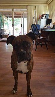 Boxer Dog for adoption in Westminster, Maryland - Jazmin