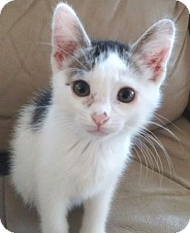 Domestic Shorthair Kitten for adoption in Casa Grande, Arizona - Ritz