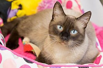 Domestic Shorthair Cat for adoption in St. Paul, Minnesota - LeRoy Brown