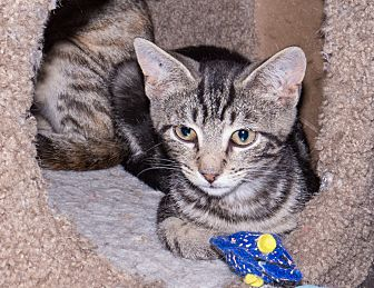 Domestic Shorthair Kitten for adoption in Elmwood Park, New Jersey - Cutesix