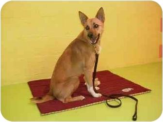 Finnish Spitz/Australian Shepherd Mix Dog for adoption in Powell, Ohio - Monica